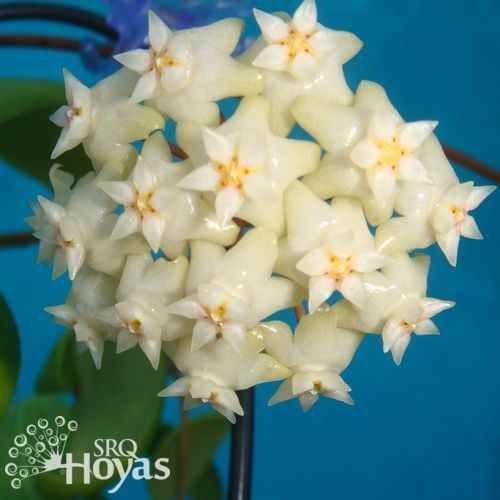 Hoya bhutanica Plant [IML 0224] - $14.00 : Hoya Plants and Cuttings can also be Terrarium Plants