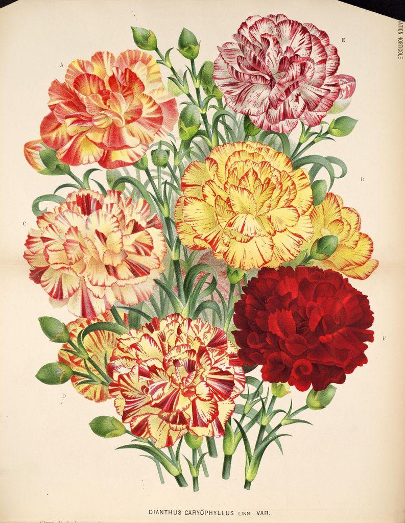 L'Illustration horticole :. Gand, Belgium :Imprimerie et lithographie de F. et E. Gyselnyck,1854-1896.. biodiversitylibrary.org/page/15848396