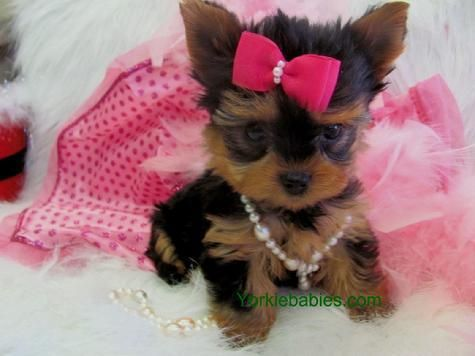 free teacup puppies in texas Image of Lovely teacup