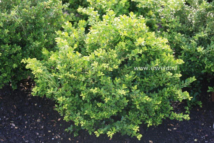 Ilex crenata 39 gloria 39 rhus crece entre 1 y 10 mts for Arboles de hoja perenne que crece rapido