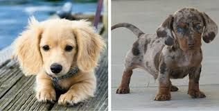 Image Result For Dachshund Colors And Markings Pictures Weenie