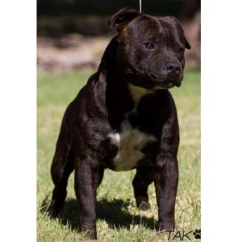 Slavestaff Kennels Staffordshire Bull Terrier Breeder