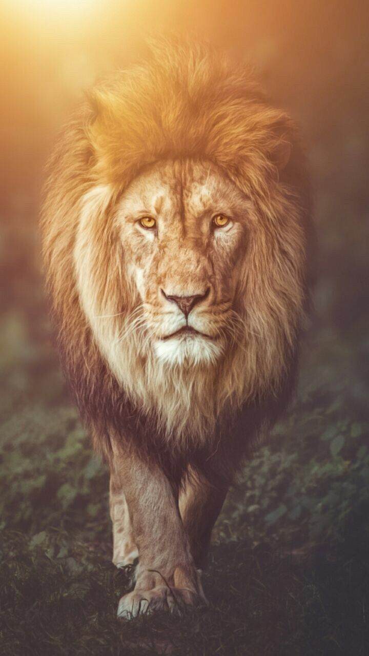 Lion wallpaper background wallpapers in 2019 lion - Phone animal wallpapers ...