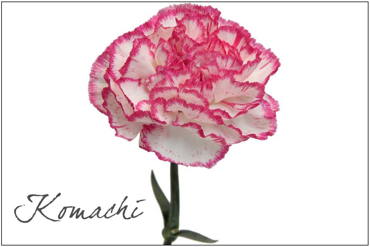 Pin On Our Carnation Varieties