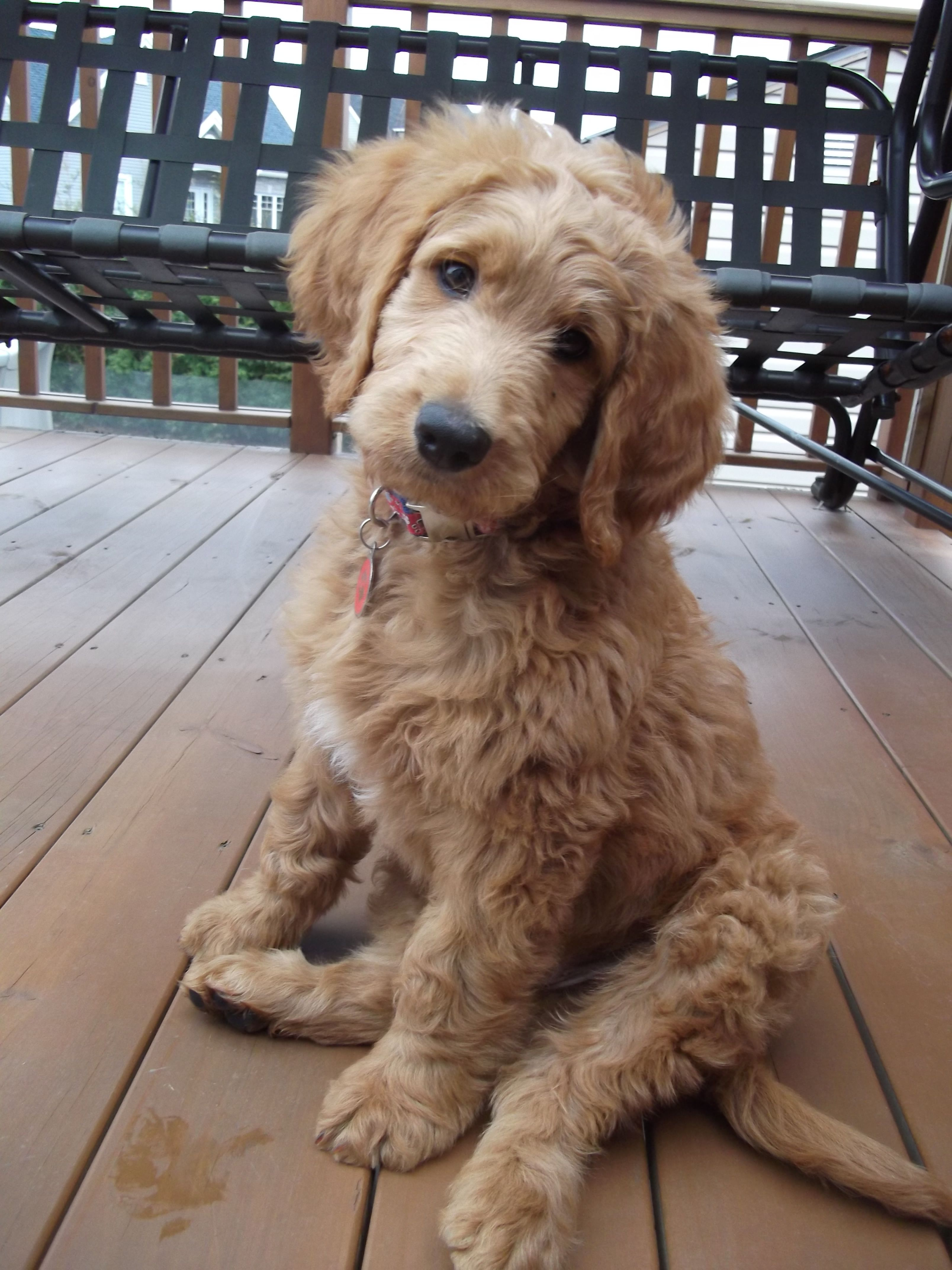 Goldendoodle F1b 2 mois | Puppies | Goldendoodle haircuts ...