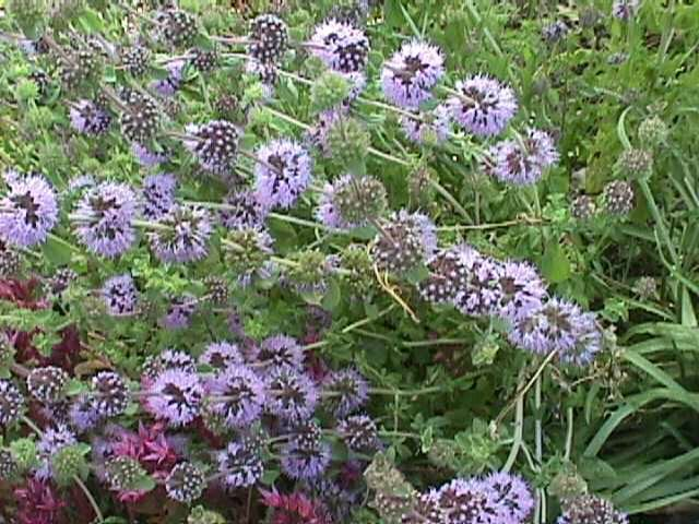 Pennyroyal for the cabbage loopers LE PIANTE CHE VORREI Plants