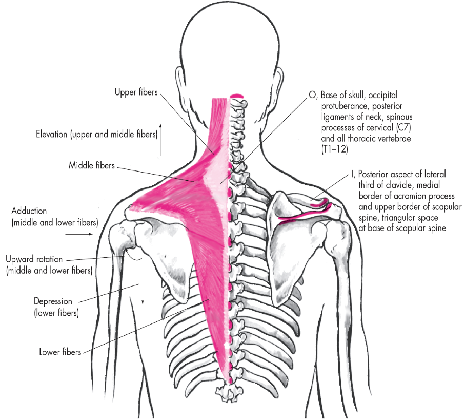 Trapezius Scapula Insertion