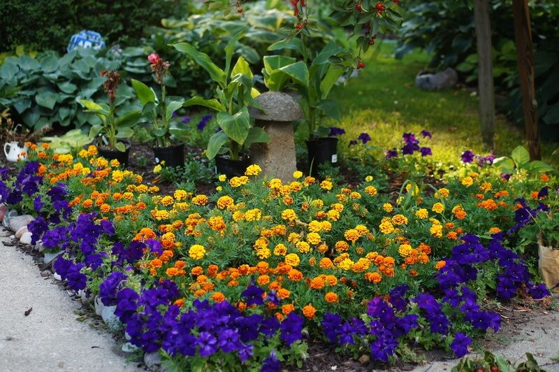 Marigolds Look Stunning In Every Flower Bed Setting And Bloom Through Out Summer Flower Beds Marigolds In Garden Petunia Flower