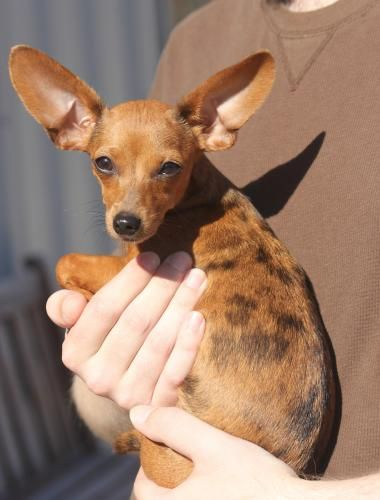 Adopt Heidi On Cool Pets Dachshund Dog Chihuahua Love