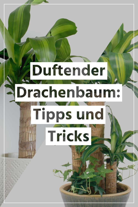 Duftender Drachenbaum Richtig Pflegen Sowie Tipps Und Tricks Zum Thema Giessen Standort Und Dungen Drachenbaum Zimmerblumen Pflanzen