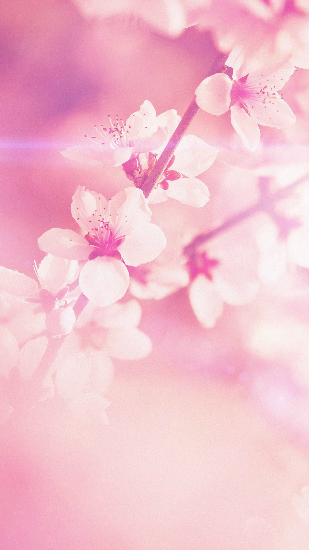 Spring flower pink cherry blossom flare nature iphone 6 plus spring flower pink cherry blossom flare nature iphone 6 plus wallpaper mightylinksfo