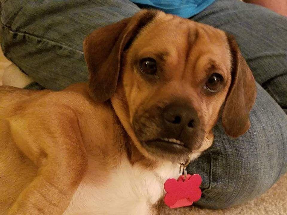Pitbull puppies for adoption mn