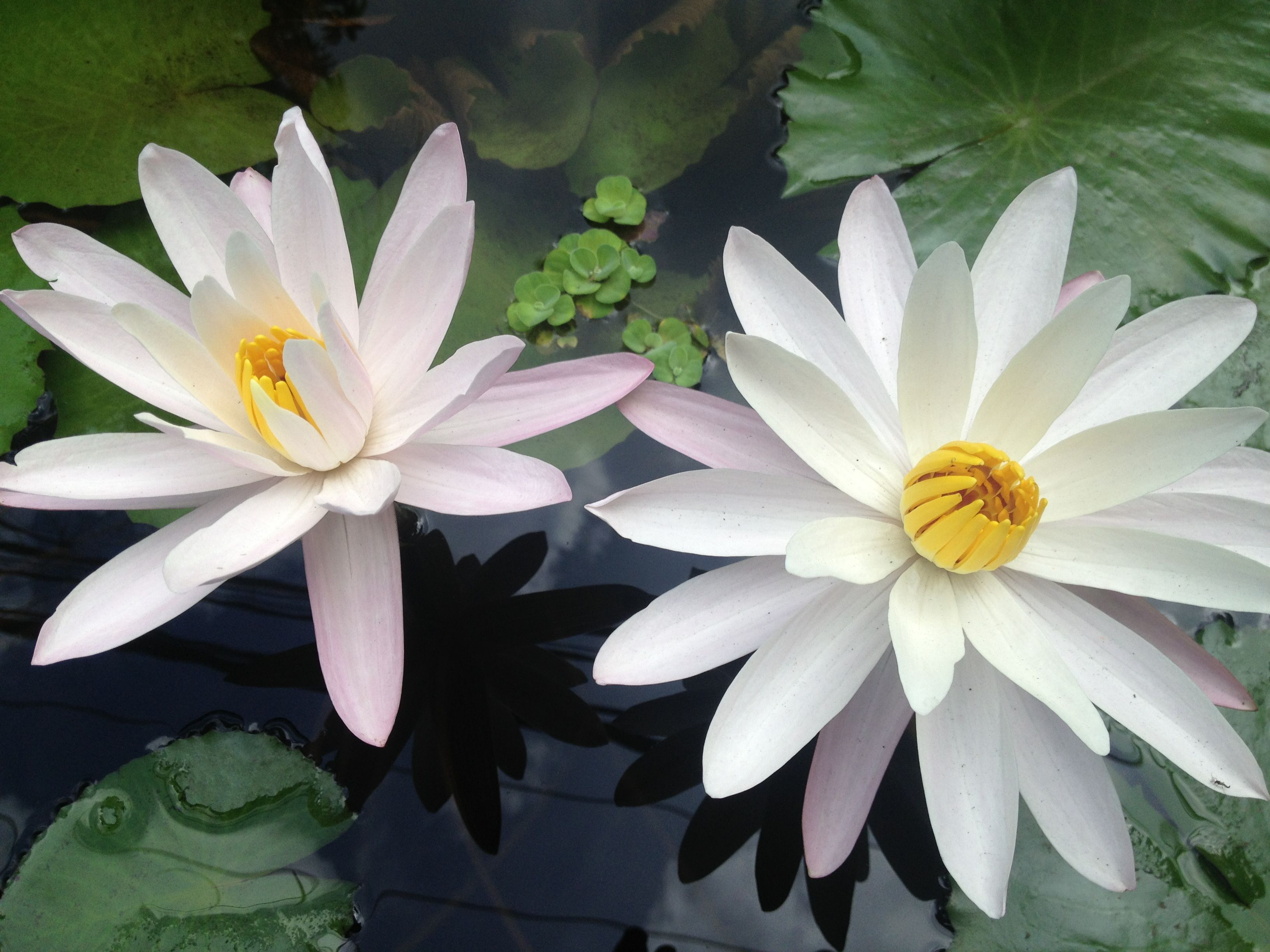beautiful water lilies in a pond at the front of a