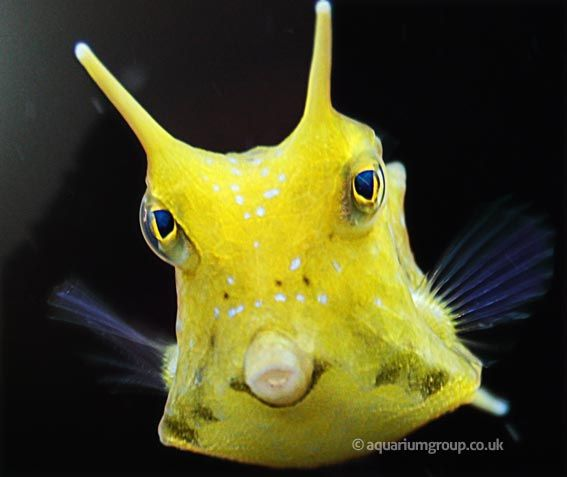 The longhorn cowfish salt water fish pinterest for Cold freshwater fish