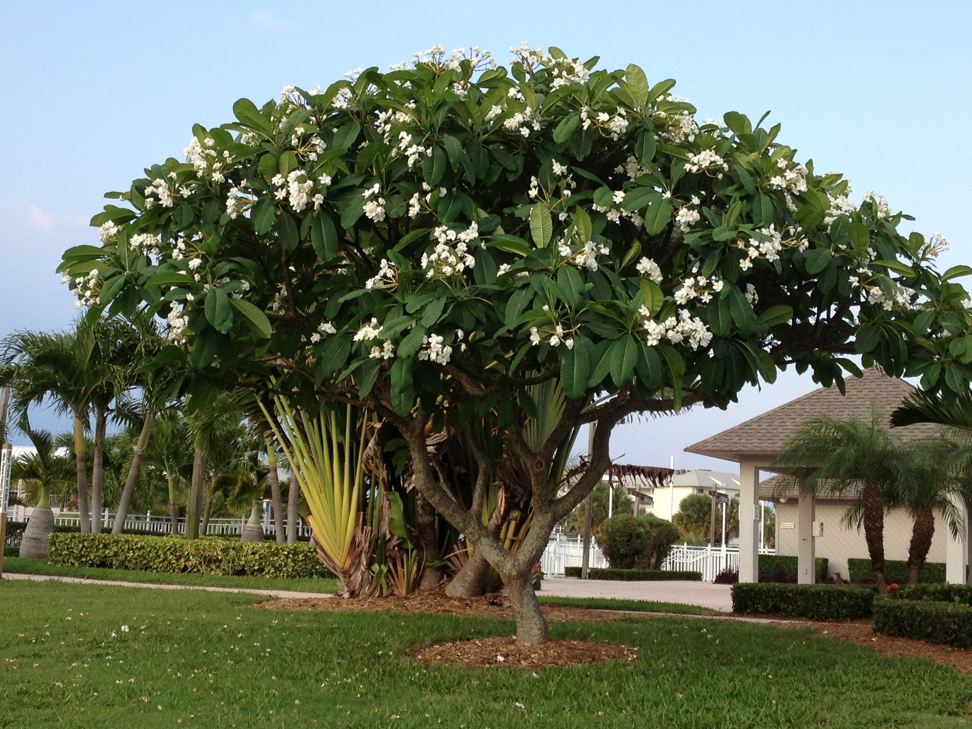 This is a photo i took of a white plumeria frangipani tree for Garden trees types
