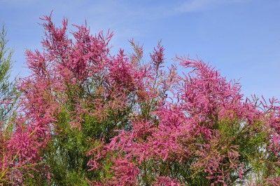 Is Tamarix Invasive Helpful Tamarix Information Flowering Shrubs Shrubs Flowering Trees