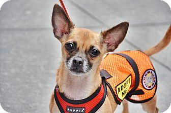 New York Ny Chihuahua Pug Mix Meet Egypt A Dog For Adoption