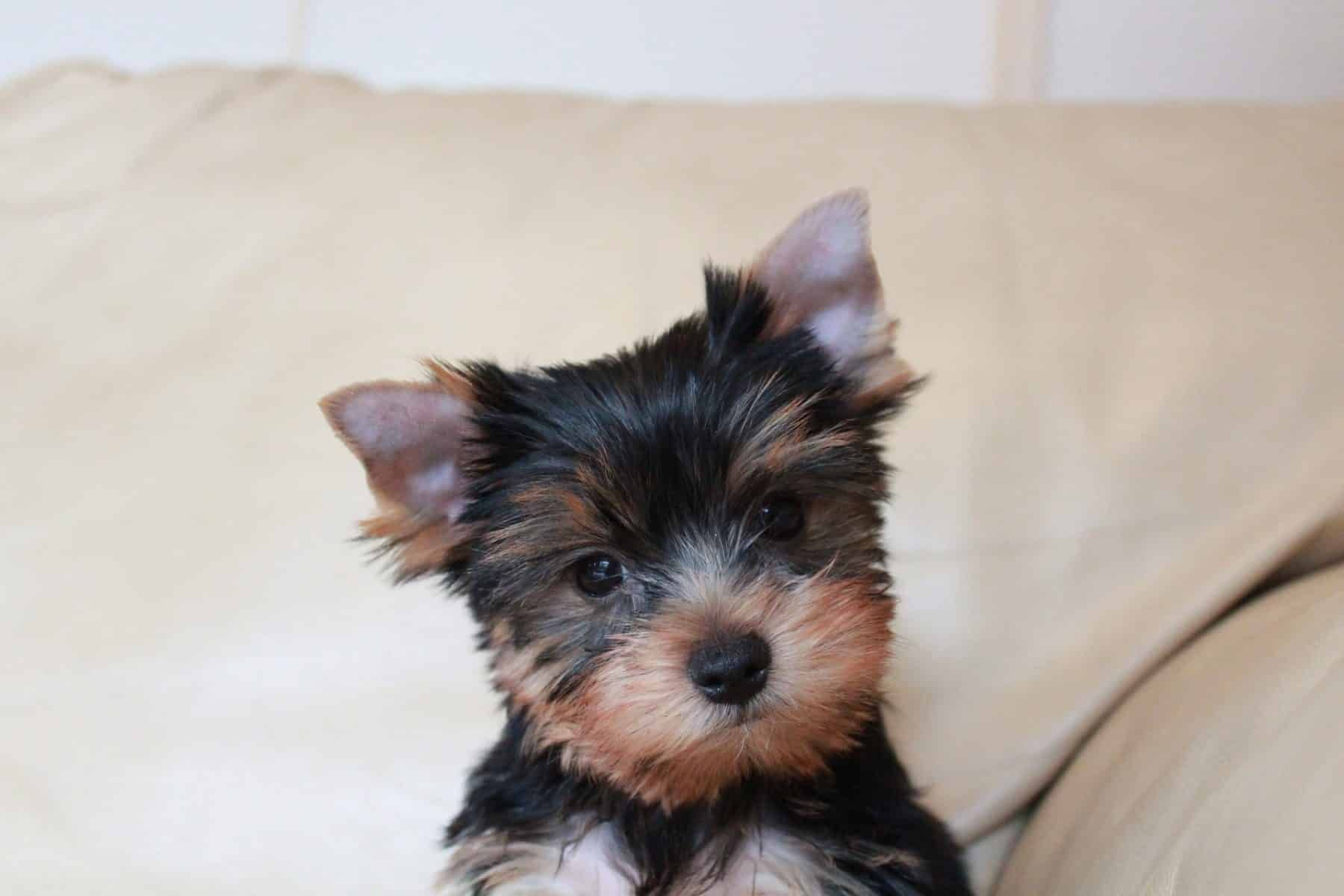 Yorkshire Terrier Puppies Everything You Need To Know In 2020 Yorkshire Terrier Puppies Yorkie Puppy Yorkshire Terrier