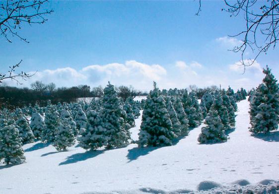 Strawberry Hill Christmas Tree Farm Lawrence Ks Christmas