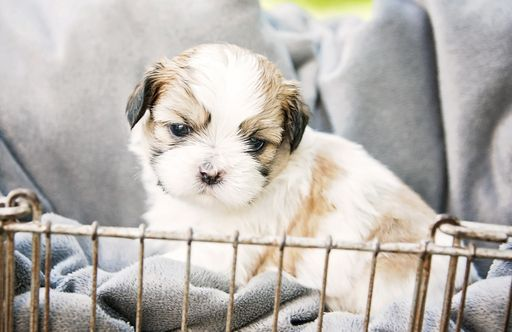 Litter Of 7 Shih Tzu Puppies For Sale In Sioux Center Ia Adn