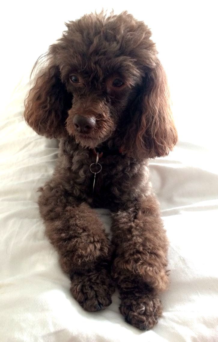 Adorable Brown Poodle Dog Toy Poodle Poodle