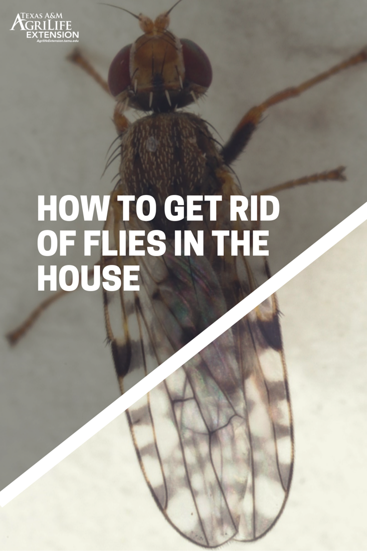 How to get rid of flies in your house   Get rid of flies