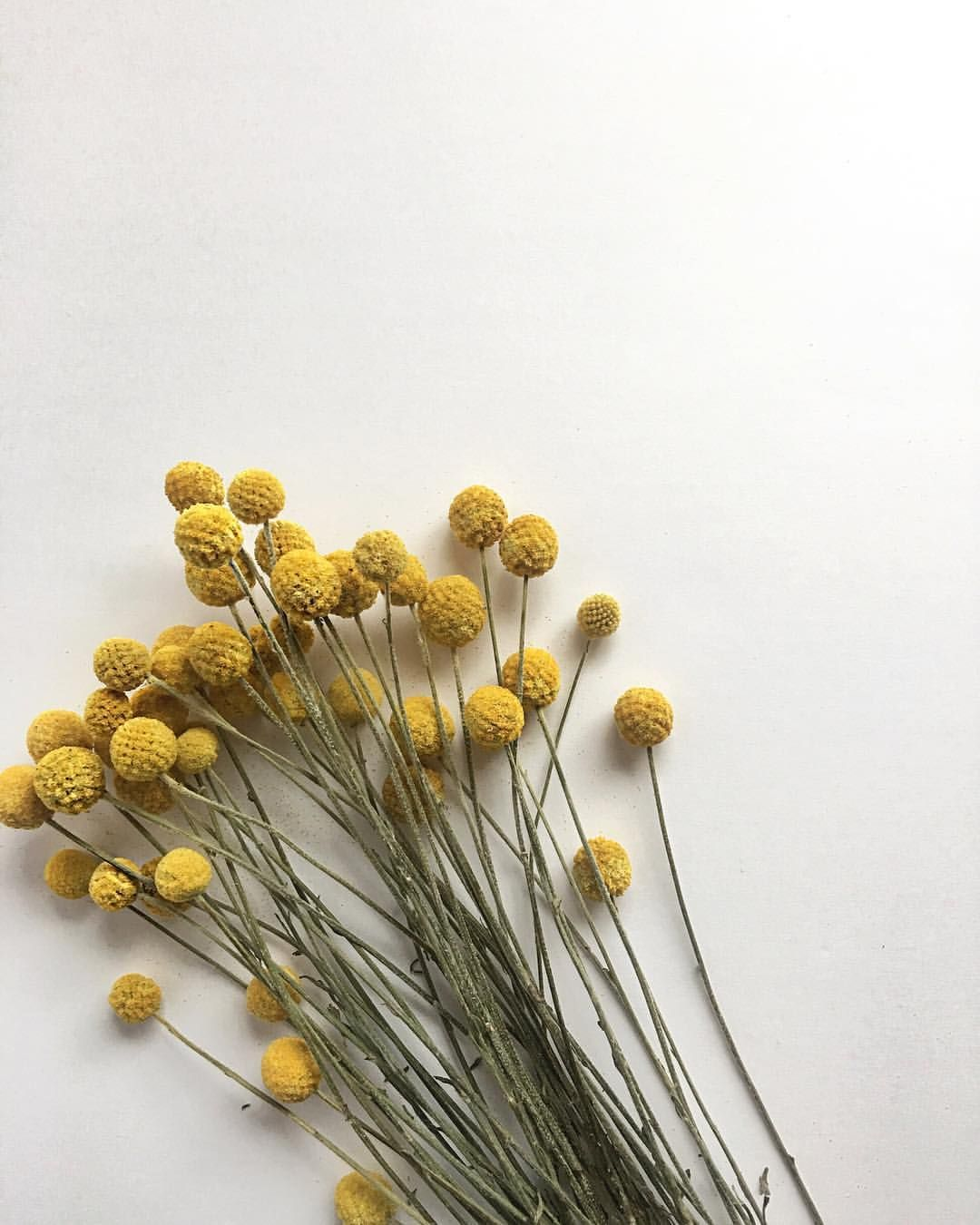 Blooms Craspedia Bouquet Dried Craspedia Bouquet Flatlay Mustard Yellow Craspedia Bouquet Mustard Yellow Flowers Dri Dried Flowers Mustard Flowers Flowers