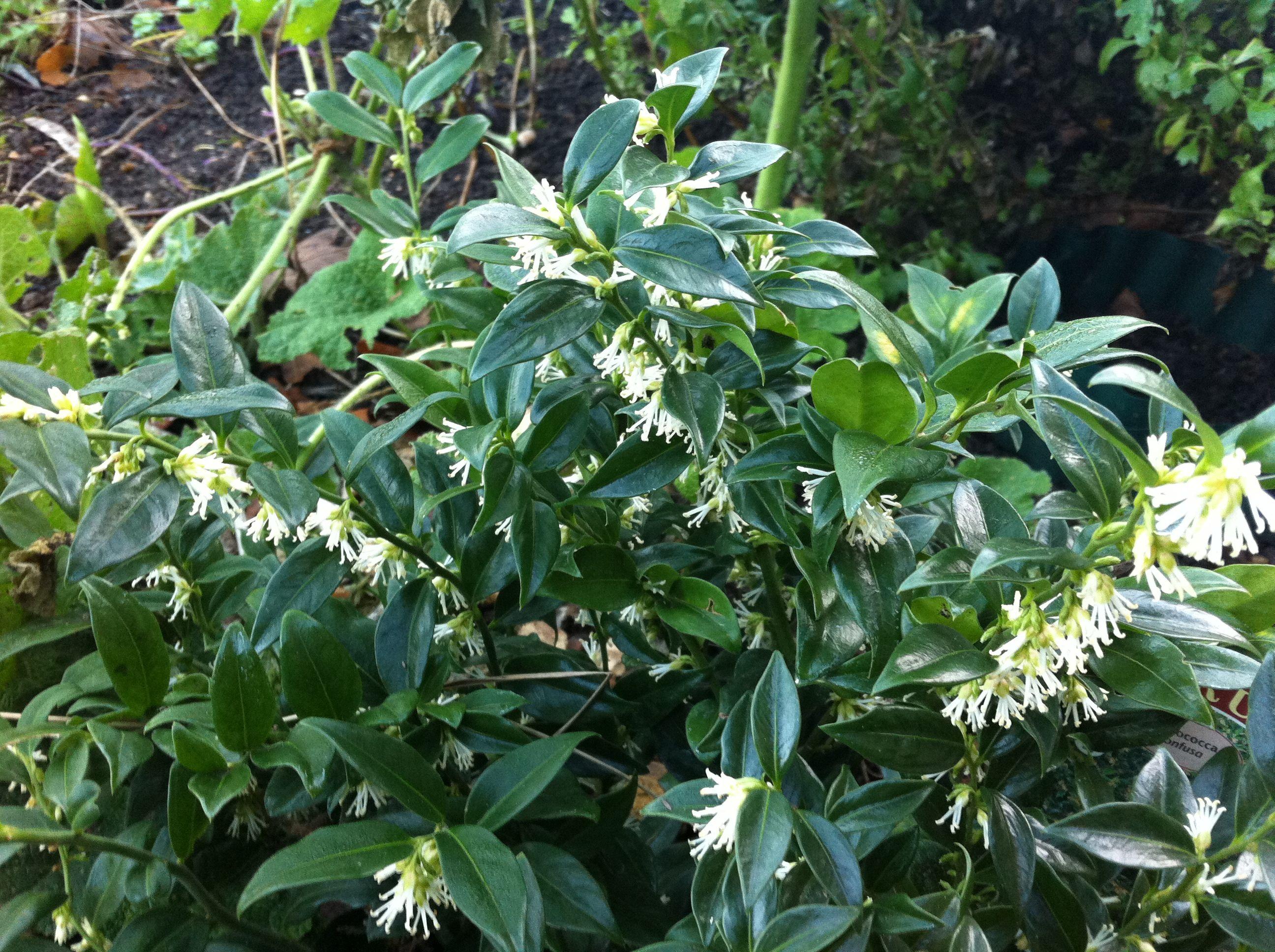 Sarcococca Confusa in flower Winter garden & shrubs