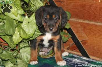 Buster Beagle Mix Puppy For Sale From Nottingham Pa Greenfield