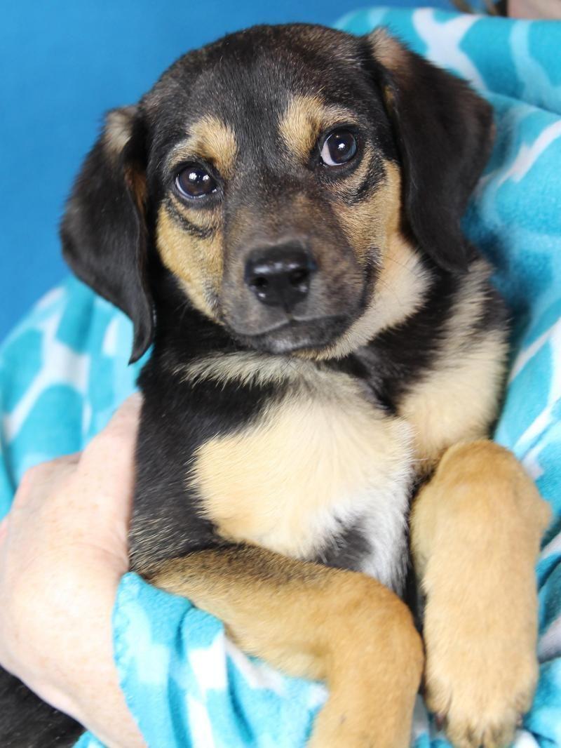 Adopt henry on adoptable beagle pet finder dog cat