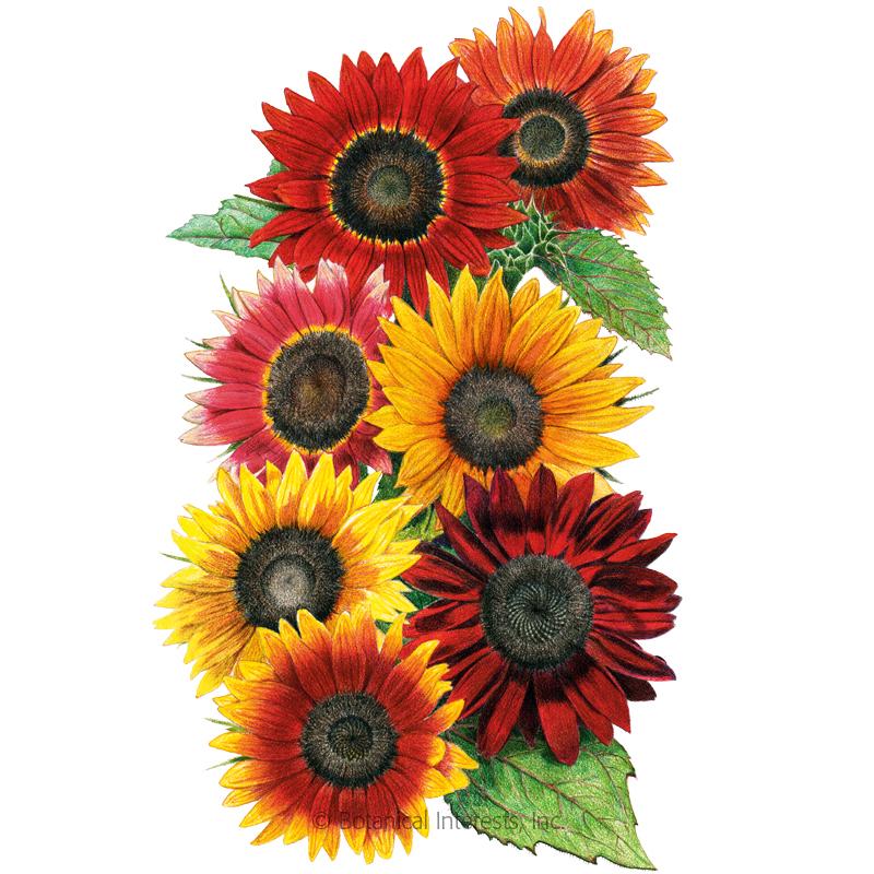 Heirloom Beauties Sunflower Seeds In 2020 All Flowers Sunflower Red Sunflowers