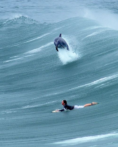 Surfing with dolphins #SantaBarbara #California