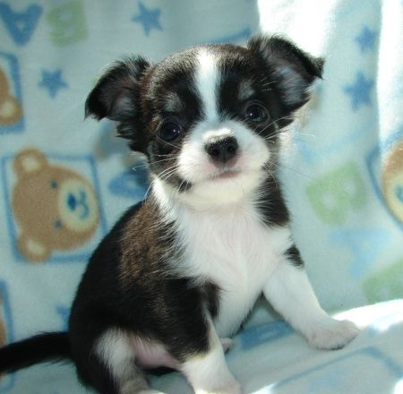 Cute teacup chihuahua puppies for adoption | A girls best