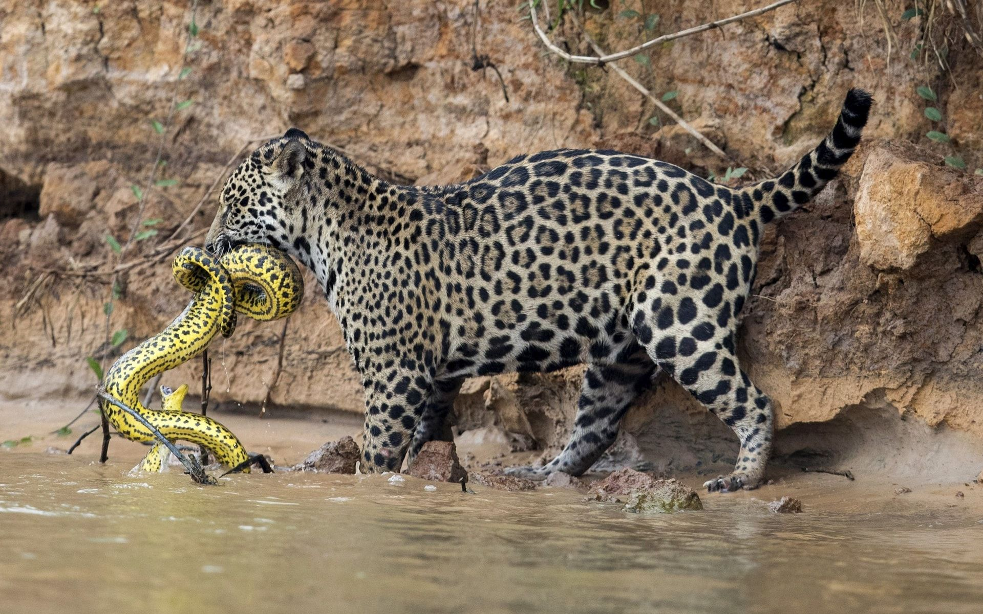 Pictures of the Day 6 October 2017 Jaguar animal