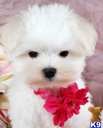 Maltese dogs stay this small and puppy like forever!