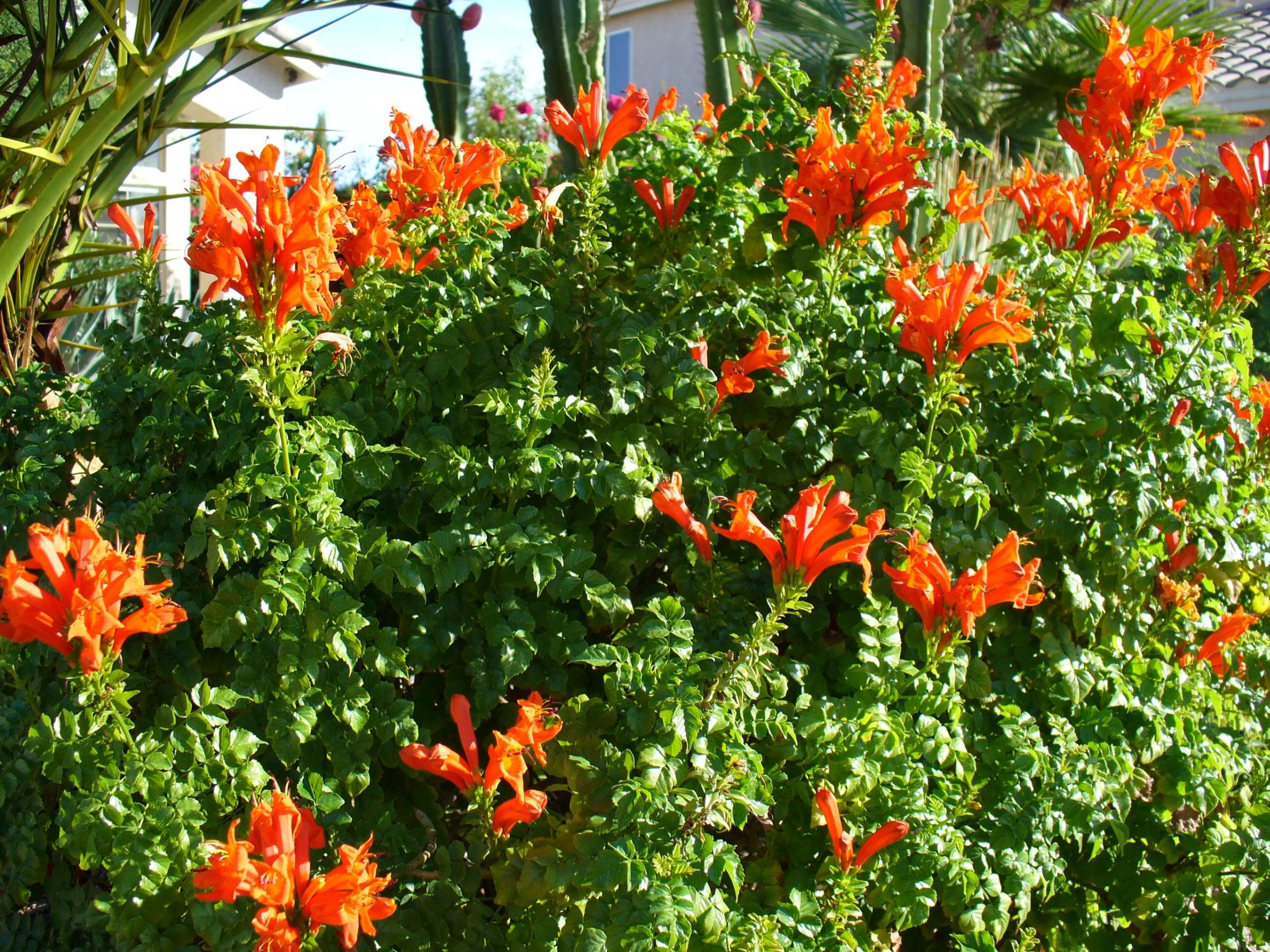 Tecomaria capensis orange full sun hardy hight 2m for Garden shrubs