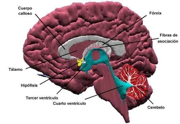 El Sistema Límbico: anatomía, memoria y emociones | Anatomía y ...