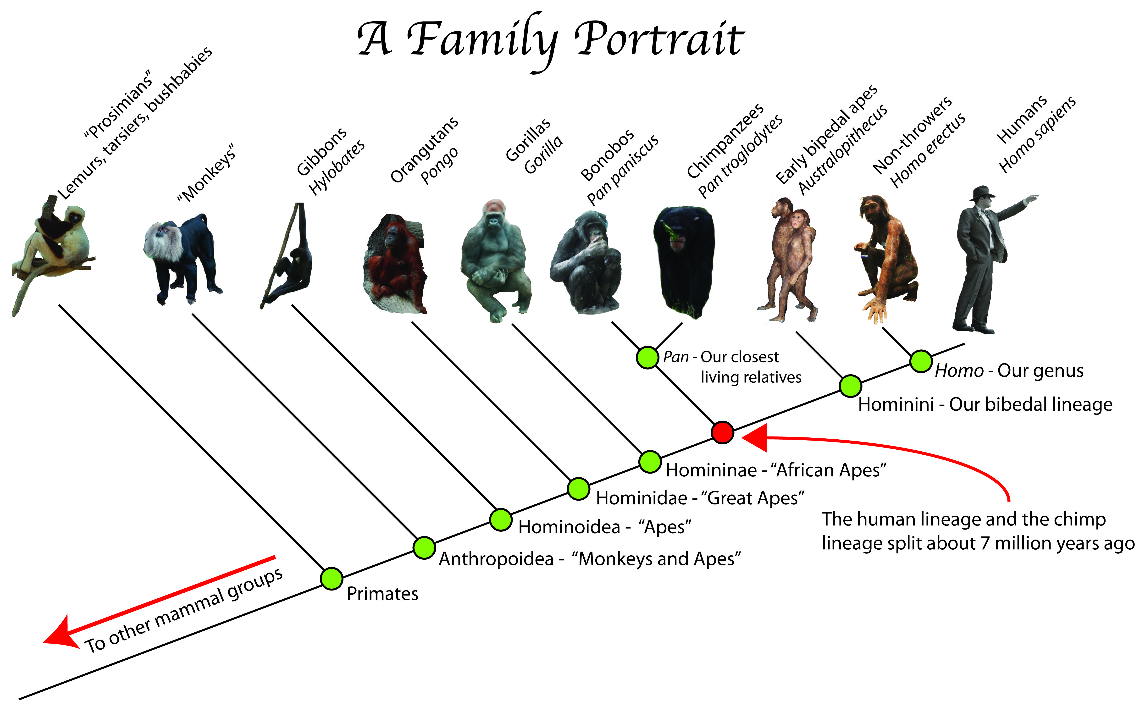 Diagram Of Evolution Timeline Hotpoint Dryer Wiring A Portrait The Primate Tree Life Description From