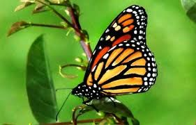 Resultado De Imagen De Mariposas Bonitas Reales Mariposas