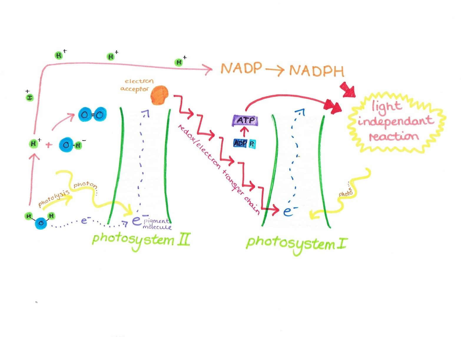 The Light Dependent Reaction The First Stage Of Photosynthesis