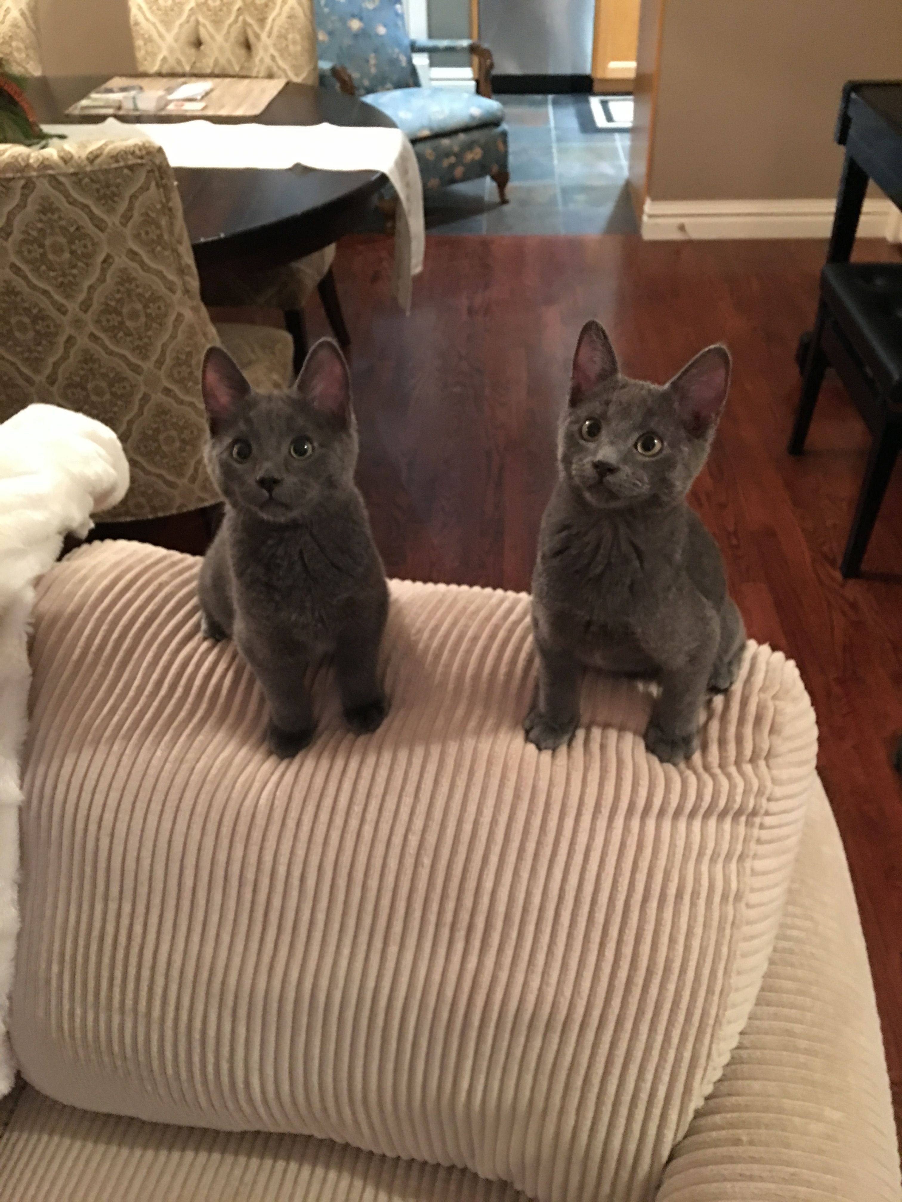 4 Month Old Russian Blue Brothers Mink And Sterling