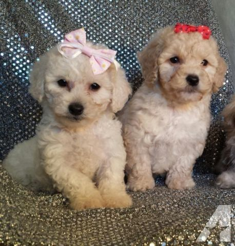 Maltipoo Puppies For Adoption 8 Weeks Old Maltipoo Puppy Puppy Adoption Maltipoo Dog