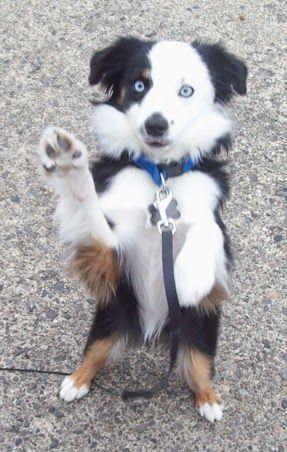 25 Tricolor Dog Breeds Miniature Australian Shepherd Toy