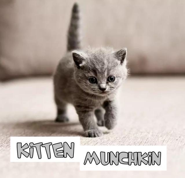 Tips Dan Ciri Anak Kucing Munchkin Yang Masih Kecil Kucing Munchkin Anak Kucing Adopsi Kucing