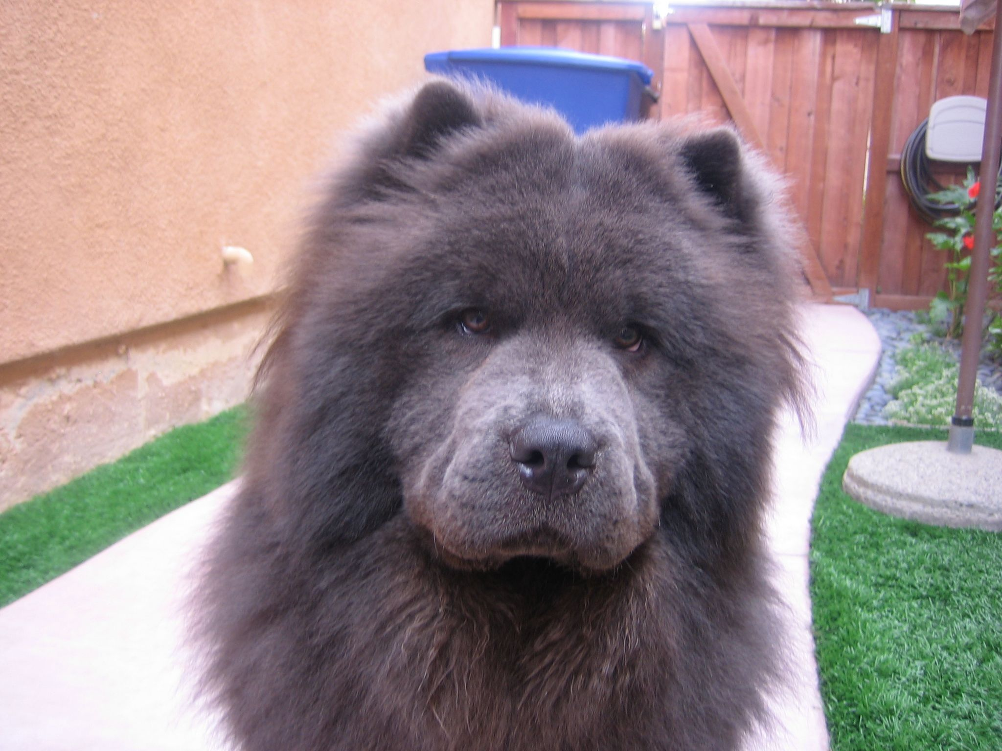 This Is Imperial Blu Boo Boo Bear My Sweet Blue Chow Chow I Have