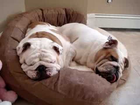 Two Snoring Bulldogs - Star and Petunia - so cute, but oh those poor little things can't be getting much air :((