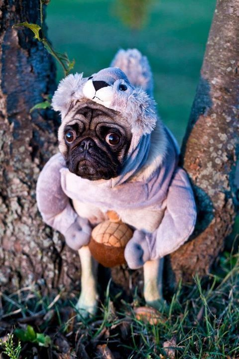Pug Squirrel Or The Things I Let My Owner Do To Make Her