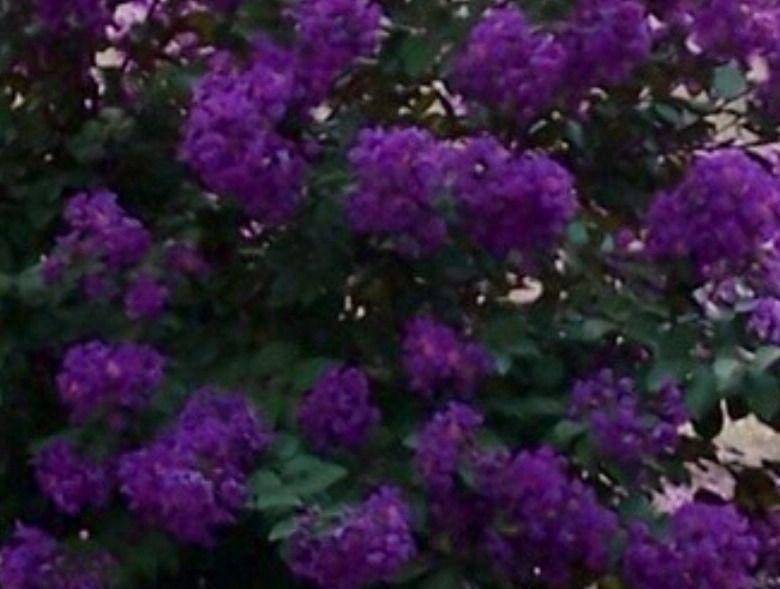 Twilight Purple Crape Myrtle Crape Myrtle Flowering Trees Planting Flowers