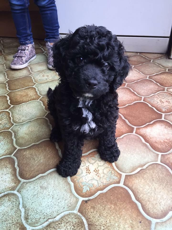 Our Beautiful Cavapoo Puppy Balou Was Stolen From Our House Last Night He S Only 12 Weeks Old And Likely To Be Very Sca Cavapoo Puppies Cavapoo Black Cockapoo