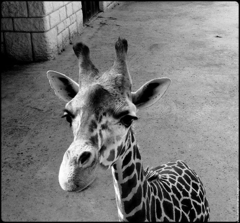 Mon Animal Totem Girafe Noir Et Blanc Animales